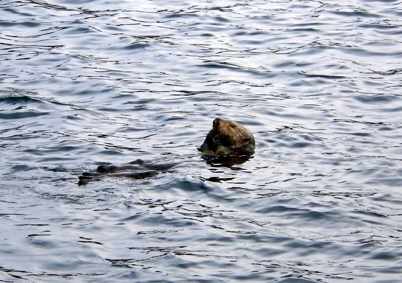 A possible predator on our crabs at the dock! Sea otters will feed on a variety of prey, but prefer to eat sea urchins.