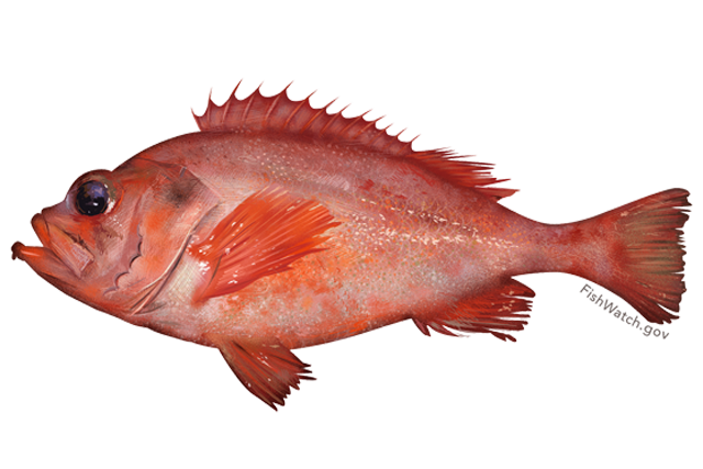 Acadian redfish illustration