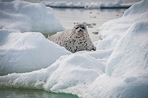 Spotted seal on ice.  Photo credit: David Withrow (NOAA Fisheries).
