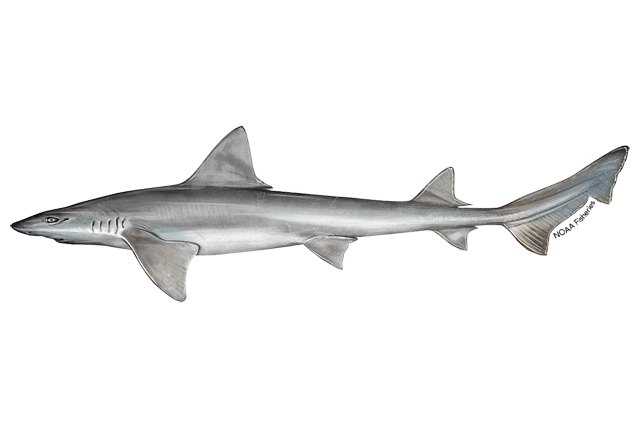 Narrownose smoothhound shark illustration