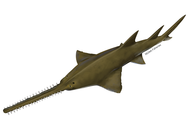 Largetooth sawfish illustration