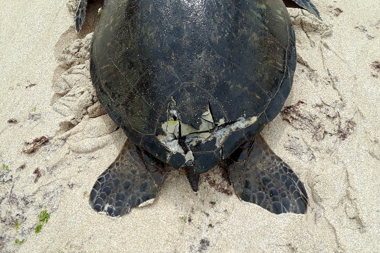 A green sea turtle on the sand with a large crack in the bottom part of its shell above the tail.