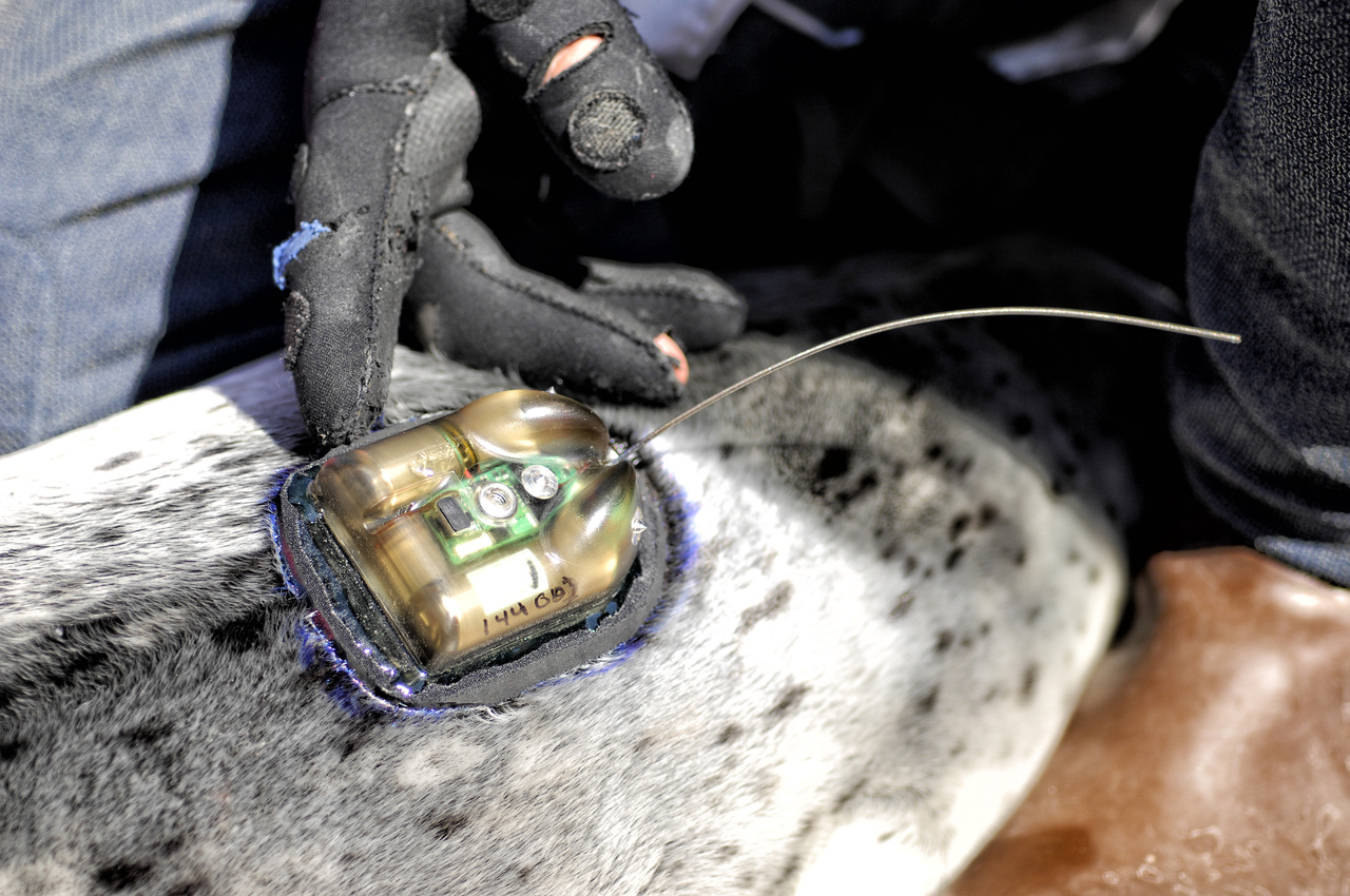 A tagged harbor seal pup is readied to be released back into Disenchantment Bay, Alaska