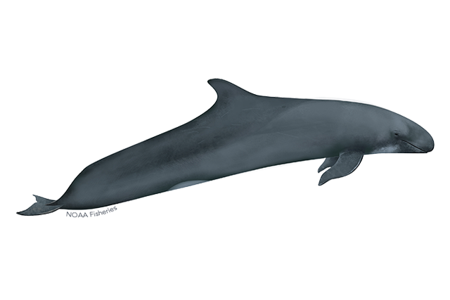 False killer whale illustration