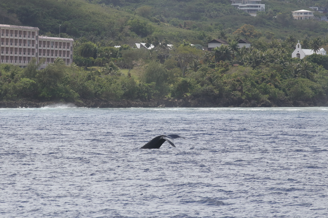 A humpback whale's tail breaches the water as it starts a dive close to the western shore of Saipan.