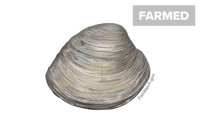 Hard clam northern quahog illustration