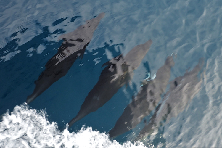 Photo of four dolphins swimming side by side.