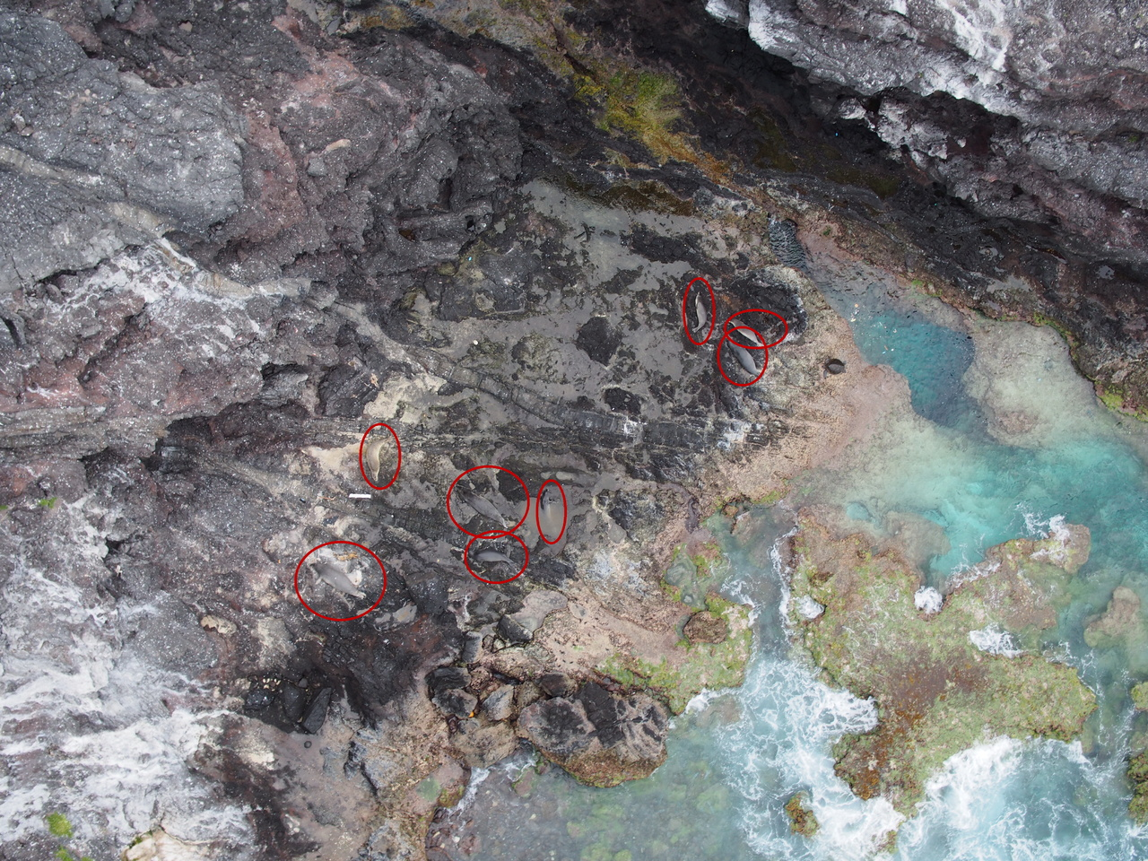 The saddle of Mokumanamana, with the eight monk seals circled.