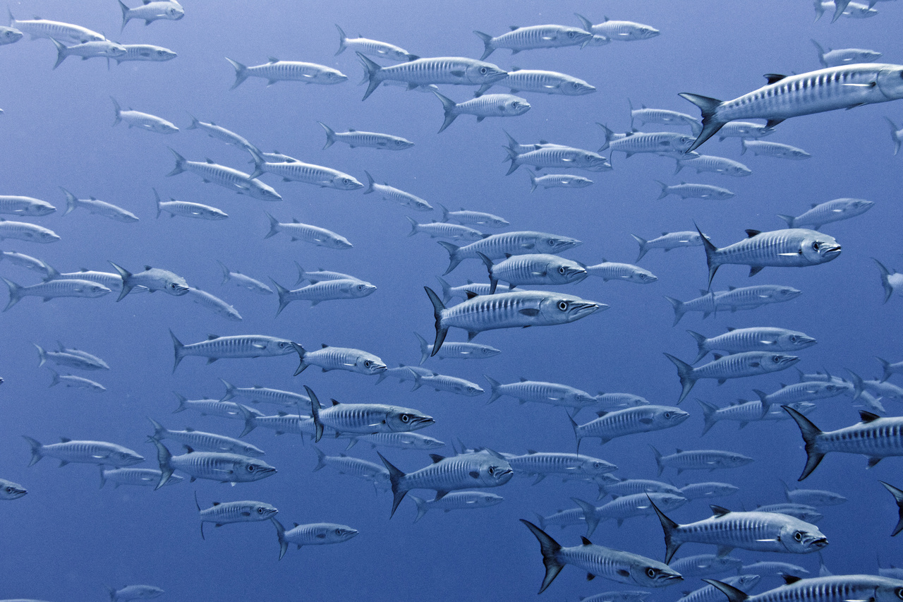 Blackfin barracuda school and swarm around Swains Island. These predators usually stick together in big schools during the day, unlike the great barracuda (a similar species), which prefers to cruise around by itself. (Photo: NOAA Fisheries/Jeff Milisen)