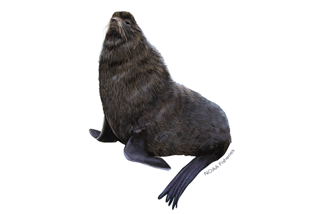 Northern fur seal illustration