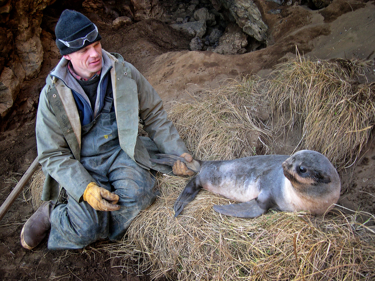 Scientist working with seal pup on St. Paul Island, Alaska.