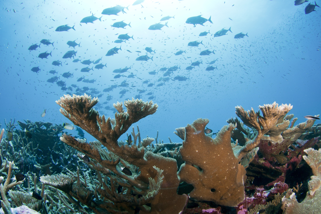 A school of black jacks swim a field of branching Acropora corals at Baker Island, where scientists were recording data. <br><i>(Photo: NOAA Fisheries/Jeffrey Milisen)