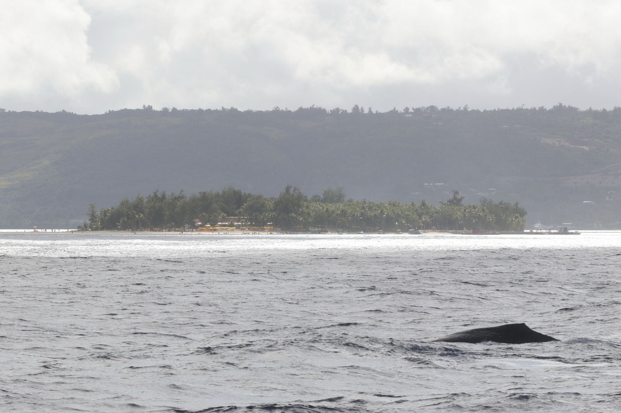 A humpback whale surfaces off of Managaha Island.