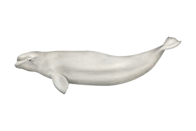 Beluga whale illustration