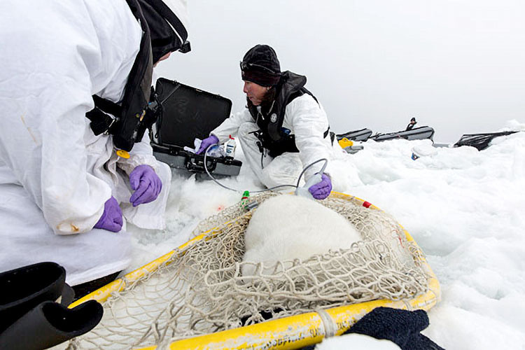NOAA biologist Heather Ziel uses a portable ultrasound to measure the blubber thickness of a ribbon seal pup.  Markus Horning, A