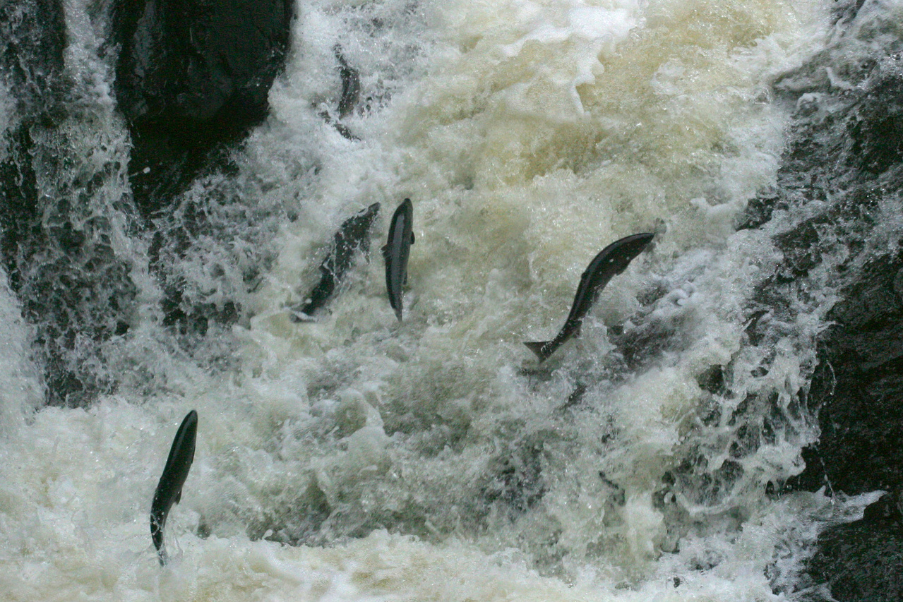 fish leaping up stream
