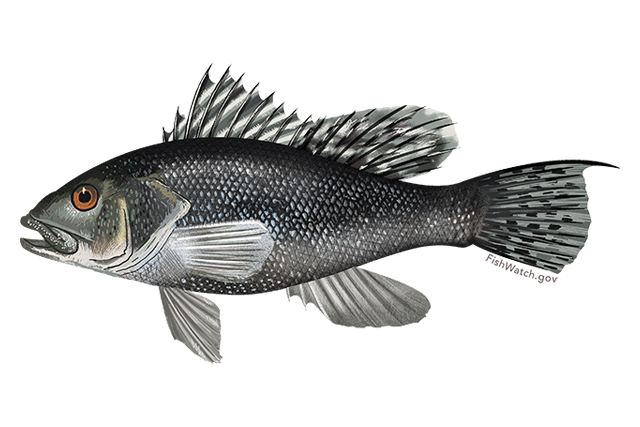 640x427-black-sea-bass.png