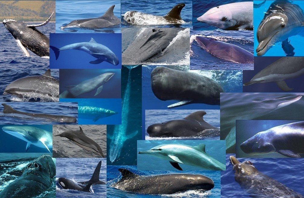 Whale species found around the Pacific Islands.