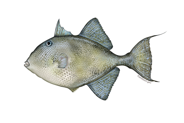 640x427-gray-triggerfish.png