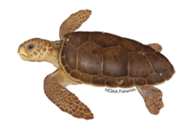 Illustration of loggerhead sea turtle