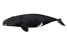 North Pacific right whale illustration