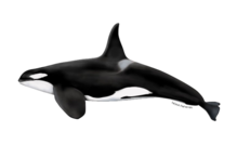 Killer whale illustration