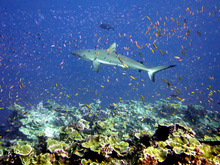 Grey reef shark and schools of anthias at Jarvis Island