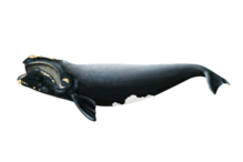 North Atlantic right whale illustration