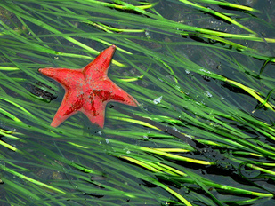 Sea star on eelgrass bed Sitka, Alaska