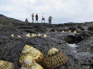 Limpets, or 'opihi, a local delicacy along the coast.
