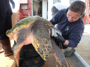 loggerhead turtle getting tagged