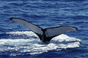 Humpback whale fluke at start of dive.