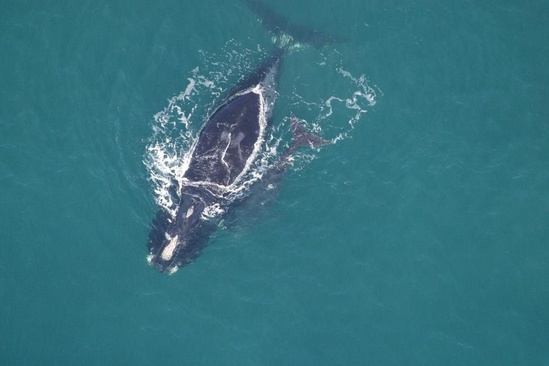 Kleenex-north-atlantic-right-whale.jpg